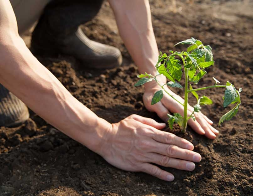 planting a vegatable